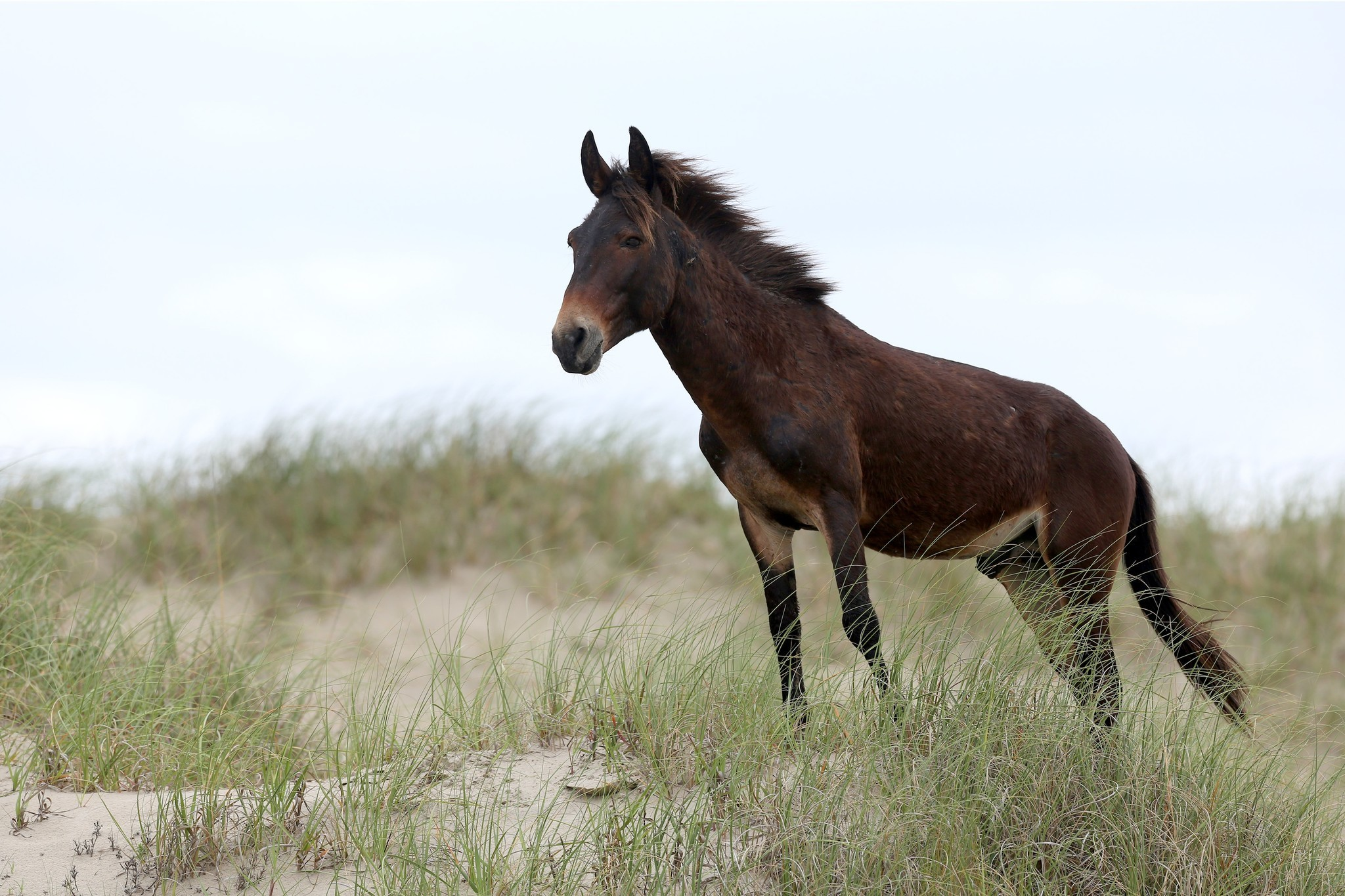 Raymond The Mule Taking His Place Among The Most Famous Corolla Wild Horses The Virginian Pilot The Virginian Pilot