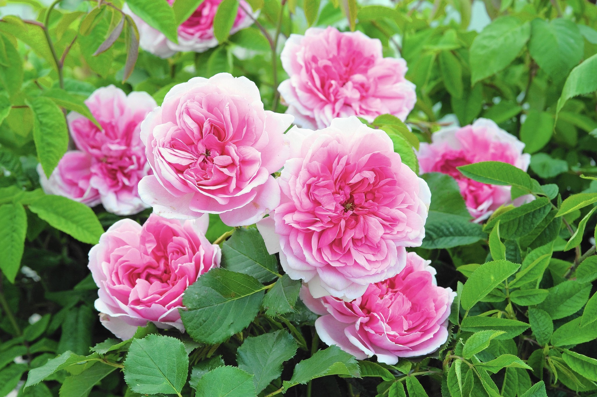 A Rose Named Maid Marion Has Connecticut Roots Hartford Courant