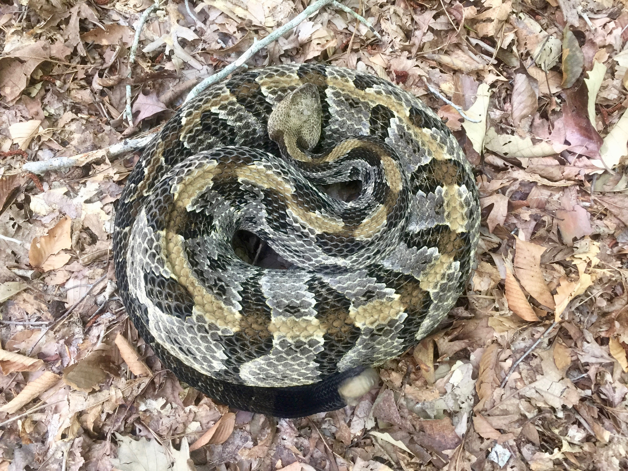 Endangered Rattlesnakes Spotted In Chesapeake Just Leave It Alone The Virginian Pilot The Virginian Pilot,Types Of Cacti With Pictures