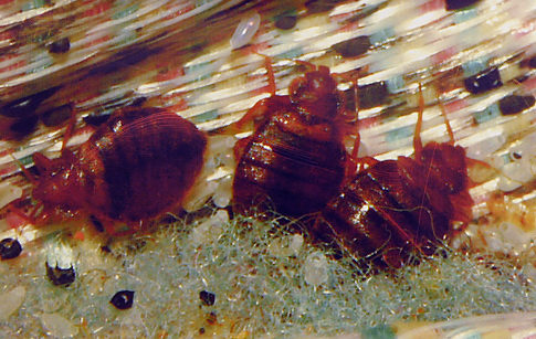 Bed Bugs Infected With MRSA Discovered; Pests Carrying Antibiotic Resistant  Staph Bacteria Found   NY Daily News