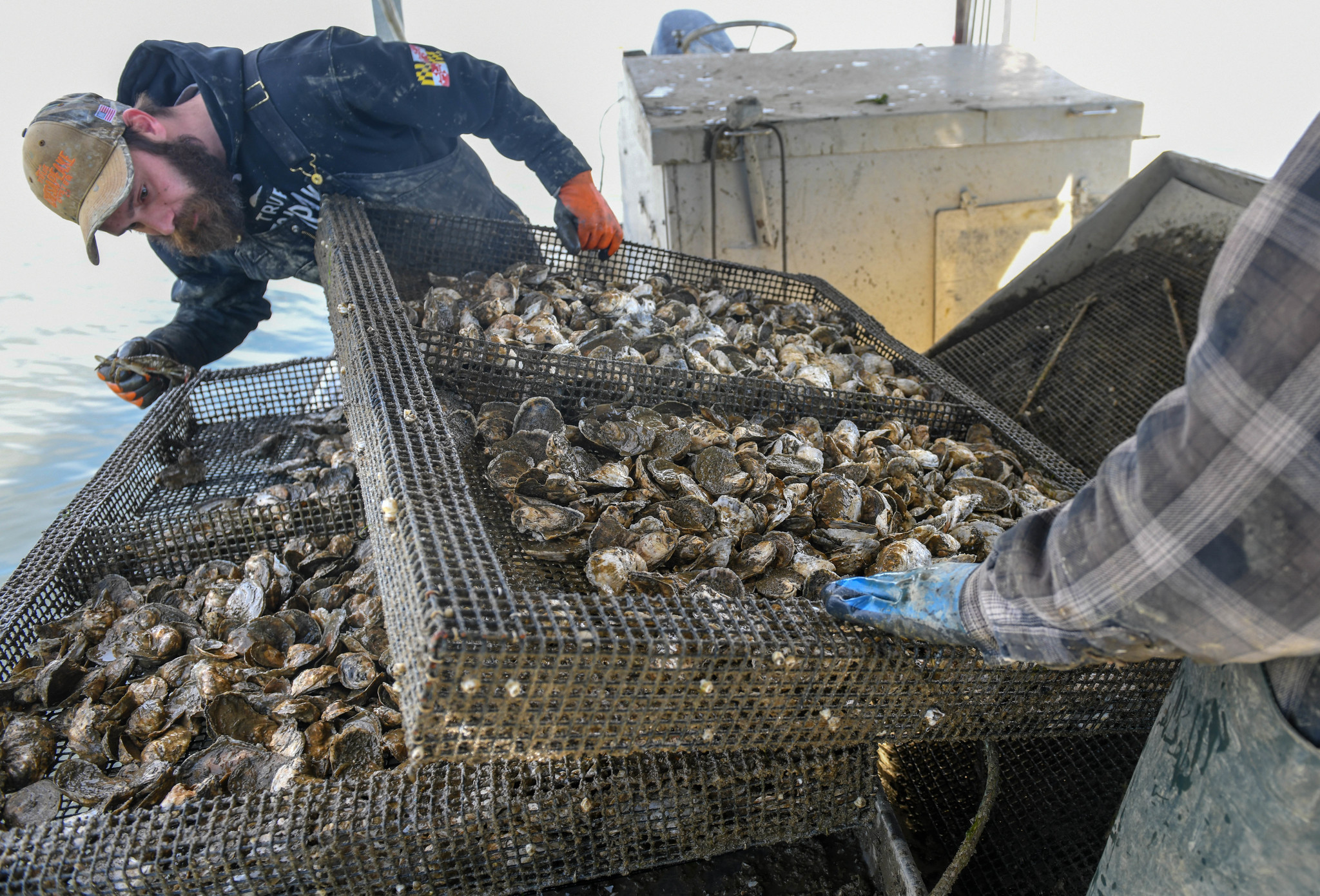 Private Oyster Farming Has Helped The Chesapeake Bay But Not Everyone Is Happy With The Practice Baltimore Sun