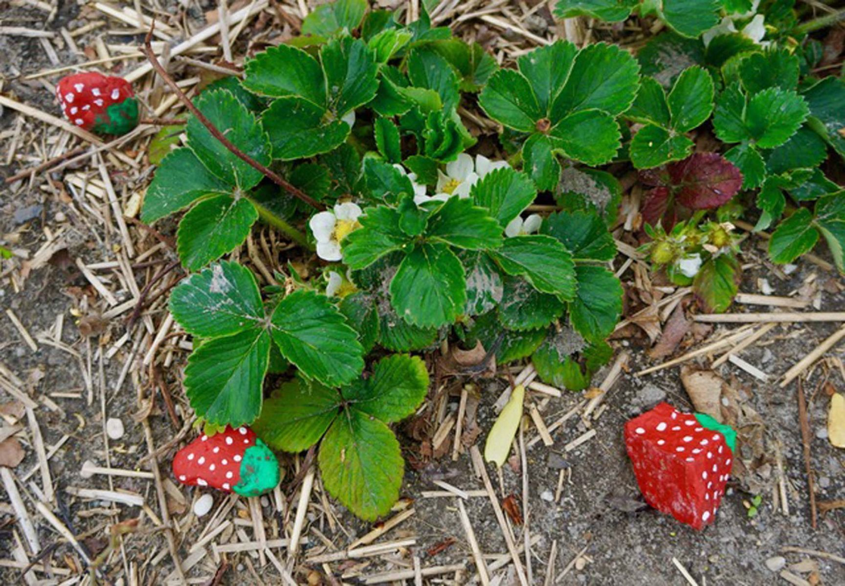 Can Rocks Keep Birds Out Of A Strawberry Patch Community
