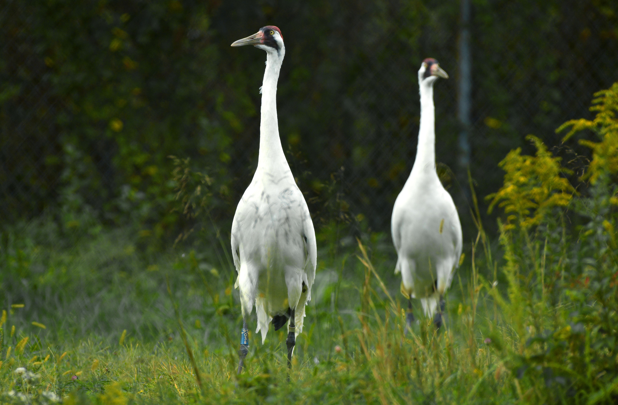 This Sandhill Crane Couple Adopted A Baby Goose Audubon >> End Of An Era 50 Year Old Whooping Crane Breeding Program Coming To