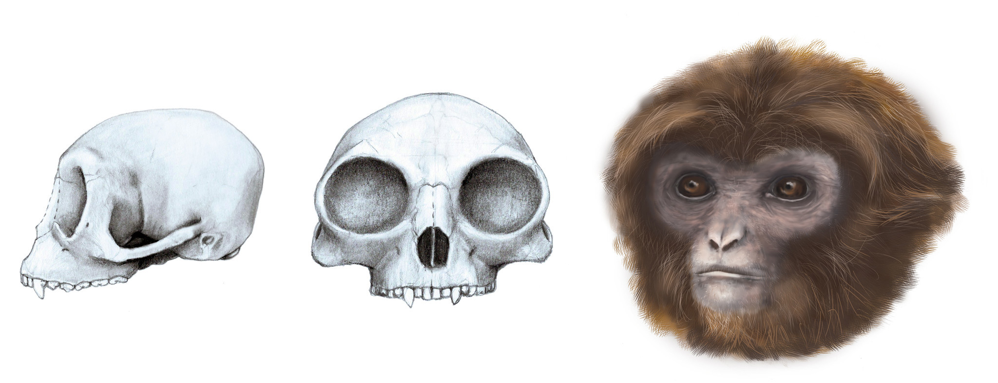 Ancestor of all apes might not be what scientists expected, new ...