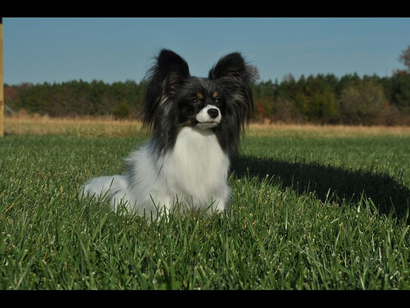 Papillion is the smallest breed in the 'working' class of dogs.