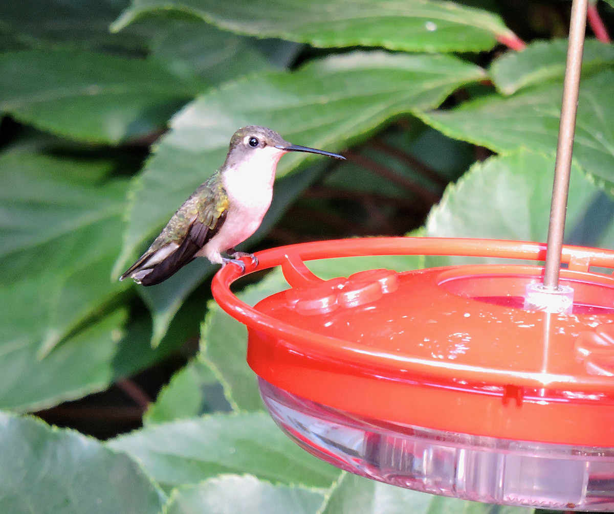 Get Your Feeders Ready The Hummingbirds Are Coming The